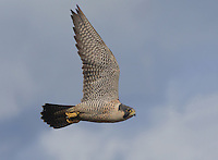 Adult peregrine falcon in flight over Boundary Bay, British Columbia, Canada