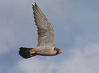 Adult peregrine falcon in flight over Boundary Bay, British Columbia, Canada