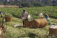 Asie/Malaisie/Env de Kuala Lumpur: Récolte de légumes