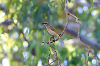 Brown Honeyeater, 1770 ocean trail, Queensland, Australia