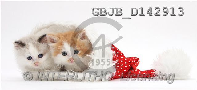 Kim, CHRISTMAS ANIMALS, photos, Two kittens, cats in a Father Christmas hat.(GBJBD142913,#XA#) stickers