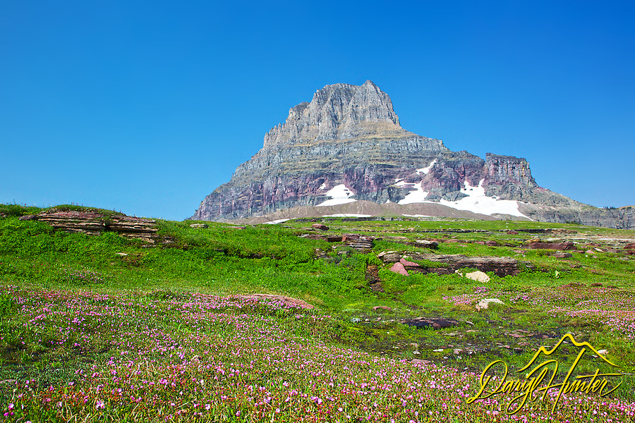 Pink wildflowers, Mt. Clements, Glacier National Park