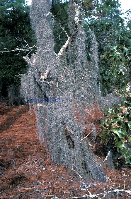 Spanish Moss ,Tillandsia usneoides,, North Carolina.