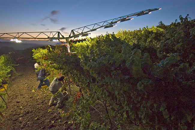 Picking grapes at sunrise in Carneros vineyard