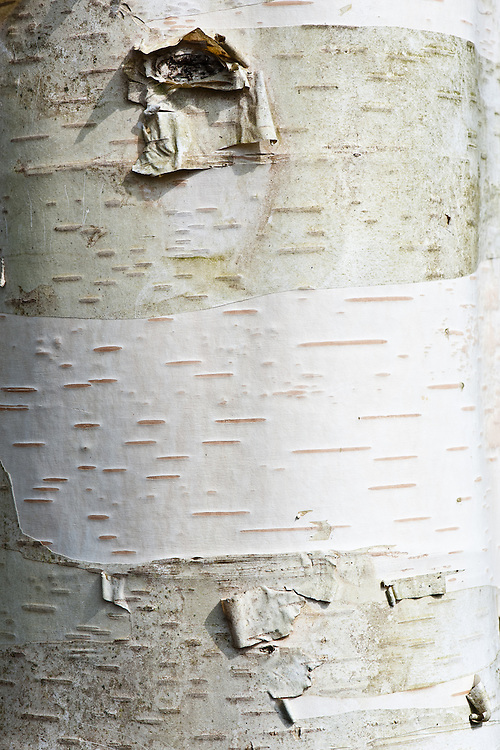 Trunk and bark of Erman's birch (Betula ermanii 'Polar Bear').