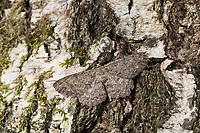 Aschgrauer Rindenspanner, Aschgrauer Baumspanner, Hypomecis punctinalis, Boarmia punctinalis, Boarmia consortaria, Pale Oak Beauty, Spanner, Geometridae, geometer moths, geometers