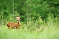 Roe deer (Capreolus capreolus) Kemeri National Park, Latvia