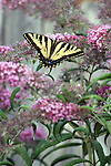 The tiger swallowtail butterfly (Papilio glaucas) is a strong flier with distinctive yellow and black striped markings on its wings and body