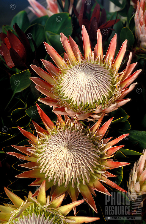 A pair of King Proteas (P. cynaroides), viewed from above amidst other proteas and foliage