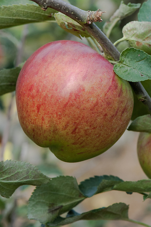 Apple 'Calville Boisbunel', late September. A French dual-purpose culinary-dessert apple. Named after M. Boisbunel of Rouen.