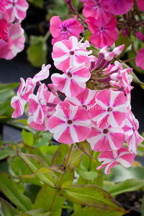 Striped flowers of Phlox paniculata Peppermint Twist