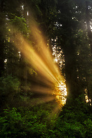 Sun bursting through fog and redwood trees. Redwood National and State Parks, CA