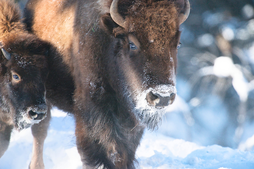 A cow and calf bison roam in Yellowstone National Park on a frigid winter day.