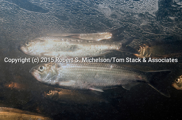 """Alewife herring (2 shot) swimming left in Monatiquot River, Braintree, Massachusetts at base of """"The Natural Falls"""", the furthest upstream that migrating fish can currently travel from the Boston Harbor drainage basin."""