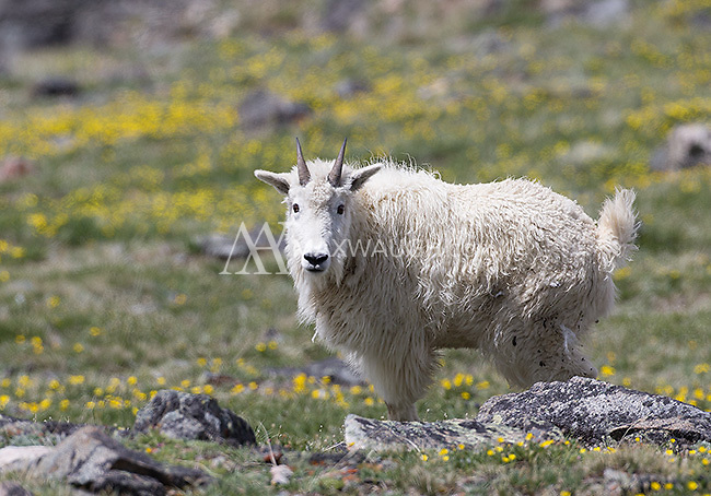 One of the rarer encounters during my spring tours occurred when we found mountain goats outside the park.