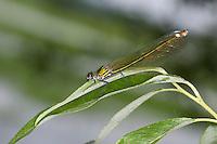 Gebänderte Prachtlibelle, Pracht-Libelle, Weibchen, Calopteryx splendens, Agrion splendens, banded blackwings, banded agrion, female