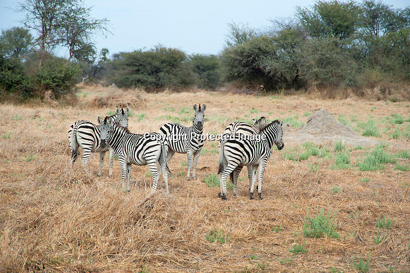 Curious Zebra Family in Moremi Animal Reserve in Botswana in Africa