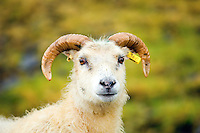 Icelandic sheep with a tag in her ear.