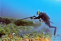 scuba diver, spearfishing, off Tampa, Florida, USA, Gulf of Mexico, Caribbean Sea,  Atlantic Ocean, Model Released - MR#: 000010