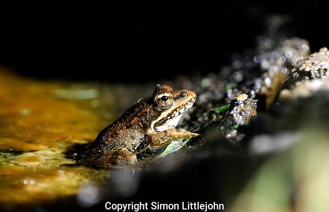 Marsh Frog sitting on inside edge of pond