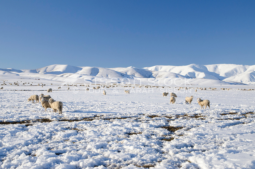 Sheep graze in snow covered paddocks near Wedderburn with the Hawkdun Mountain Range seen behind them. Winter, Central Otago, South Island