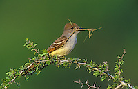 Ash-throated Flycatcher, Myiarchus cinerascens,adult with Walkingstick as prey, Starr County, Rio Grande Valley, Texas, USA