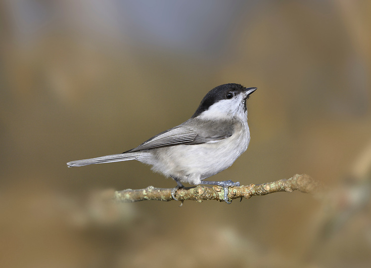 Willow Tit - Poecile montanus