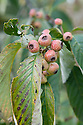 Berries of the whitebeam (Sorbus hemsleyi), mid October.