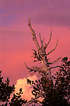Barren tree trunk and storm clouds at sunset, Crater Lake National Park, Oregon