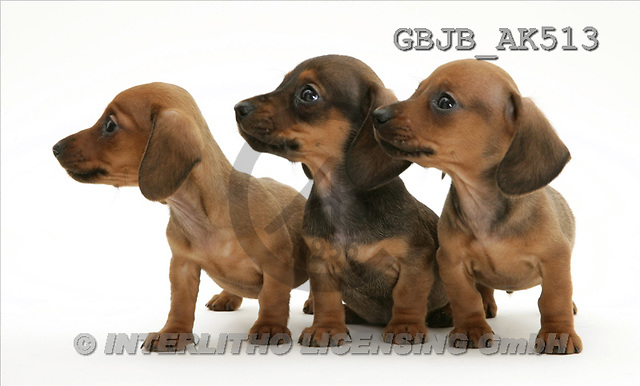 Kim, ANIMALS, fondless, photos, 3 puppies(GBJBAK513,#A#) Tiere ohne Fond, animales sind fondo