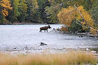 A bull moose crosses Alaska's upper Kenai River on a fall evening.