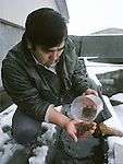 Sadami Tatesaka, Towada City Hatchery manager, inspects the growth of baby salmon at  the Towada Salmon Hatchery along the banks of the Oirase River near Towada, Japan where volunteers catch salmon to fertilize eggs. 30 million young salmon each year are placed in the Oirase River to help in Japan's conservation efforts to replace the salmon taken for food. Most of their work is done during the salmon-spawning season during the fall as the fish begin their annual trek and battle their way through rushing currents and over boulders several miles upstream from the mouth of the river past the hatchery to spawn. (Jim Bryant Photo).......