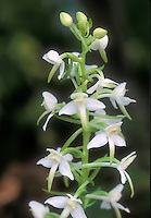 Lesser Butterfly-orchid, Platanthera bifolia Hardy Orchid