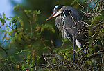 Great Blue Heron, Seattle, Washington, USA