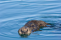 Sea Otter (Enhydra lutris) pup.  At this stage (about one month old) it is just learning to swim about on the surface--use its legs/paws and flippers.