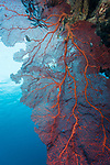 Marovo Lagoon, Solomon Islands; a massive red sea fan on a reef wall with the sun overhead