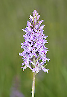 Common Spotted Orchid - Dacttlorhiza fuchsii
