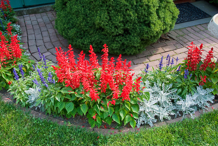 Salvia splendens red, white Dusty miller, blue Salvia farinacea for red white and blue garden color theme, brick edging next to lawn grass, brick path, shrub
