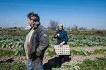Venezia - Laguna Nord Lio Piccolo. Azienda Agricola Le saline. Al lavoro nei campi. Venice - Lio Piccolo. Farmers at work.