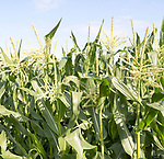 Close up of maize sweet-corn plants in flower with blue sky background, Suffolk, England, UK