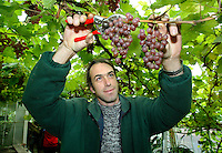 Estate worker at Renishaw Hall in Derbyshire picks grapes from the estates vineyard. Renishaw's vineyard was planted in the upper pasture in 1972.  Until 1986, the vineyard was certified as the most northerly in the world at  53 degrees 18 minutes North.