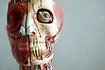 An anatomical model showing the skeletal and muscular structures of the face. Anatomical models are commonly used for training purposes as they make for clearer demonstration than anatomical specimen. Royalty Free