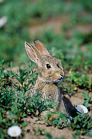 Young Eastern cottontail rabbit (Sylvilagus floridanus)