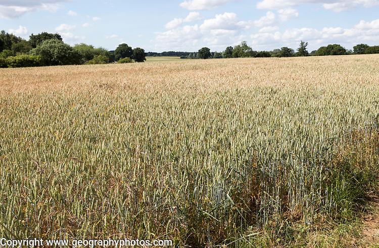 Wheat field rolling countryside summer landscape, Sutton, Suffolk, England, UK