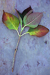 Stem from Hydrangea bush with green leaves turning red and purple lying on marbled slate