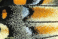 SB02-005b  Butterfly - close-up of scales on wing of Tiger Swallowtail - Pterourus glaucus