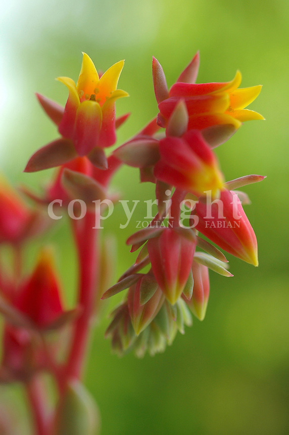 Echeveria elegans flowers blooming
