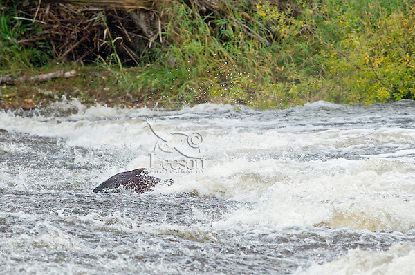 Chinook Salmon trying to swim over shallow rock shelf on fall spawning migration up Pacific Northwest River.