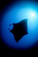 Manta ray, Manta birostris, Mergui Archipelago, Myanmar, Andaman Sea, Indian Ocean