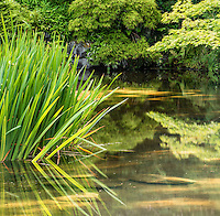 Pond and reeds, Seattle, Washington